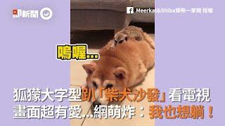 狐獴大字型趴「柴犬沙發」看電視  網萌炸:我也想躺|寵物|狗
