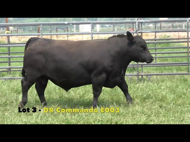 Black Gold Bull Sale Lot 3