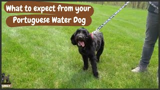 Full Grown Portuguese Water Dog: What to Expect as Weight and Growth