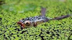 Oberflächenangeln mit Frosch   Teil 2