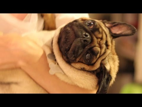 This Video WIll Make You Want To Have A Pug!