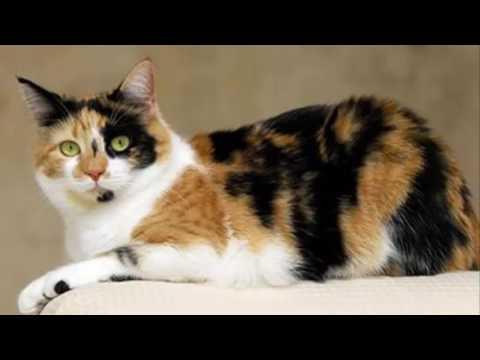Misteri Kucing Jantan Belang Tiga atau Tiga Warna, yang Di percaya Memiliki Kekuatan luar biasa