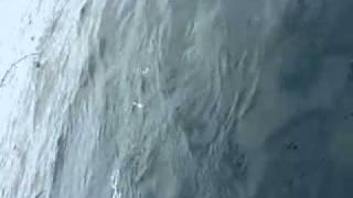 Video Alan Tani's halibut on the hook and shot.mp4 download MP3, 3GP, MP4, WEBM, AVI, FLV Juni 2018