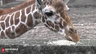 Oswajanie żyrafy do nowej szczotki