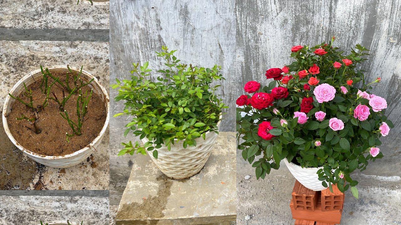 Cách chăm sóc chậu hoa hồng bị bỏ rơi | Changing pots of roses