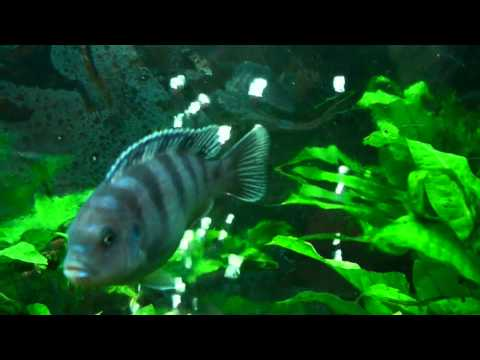 planted african cichlid tank