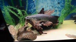 Интерактивный аквариумный туризм №16(Рубрика, куда вы присылаете свое видео и описание аквариума, а мы делаем из этого выпуск. Тема для Заявок:..., 2014-12-10T16:02:28.000Z)