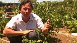 15 Ways You Can Cage, Stake Or Trellis Your Tomato Plants To Grow Vertical