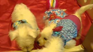 Westie Pups For Sale By Cammie In Az  Www.thatsmypuppyinthewindow.com Pups 4-utube M4h01757.mp4