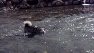 川遊びをする銀!