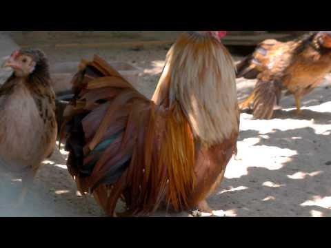 ga tre tan chau (citythaibinh - 0983244680 ) khét đỏ cắt đuôi đổ mái