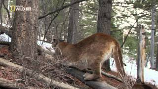 Doku Das Leben des Puma HD