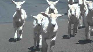 ちょっと通りますのレベルじゃない!先頭集団も最後尾すら見えない羊たちの道路横断映像(ニュージーランド)
