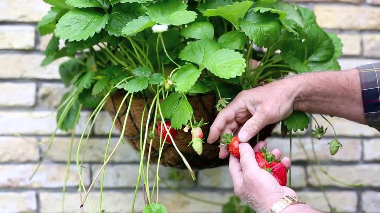 Comment Faire Des Graines De Fraises jeunes plants de fraises bomottes