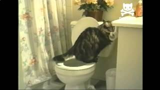 Cat Is Trained To Use Human Toilet