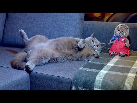 Опасная работа у БРИТАНСКОГО КОТА / British Cat At Work