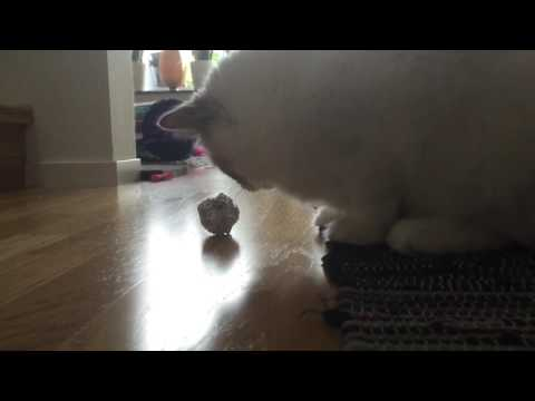 Ragdoll cat (Nisse) having fun with aluminum foil.