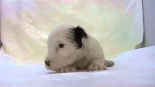 かわいいシーリハムテリアの子犬が生まれました!優良ブリーダーから、...