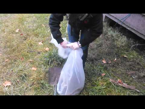 Removing a dead skunk