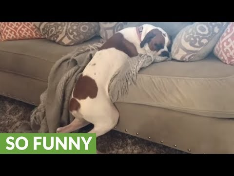 Dog not allowed on couch tries to bend the rules