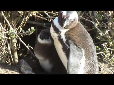 MVI 1766   Pinguinkolonie Bettys Bay