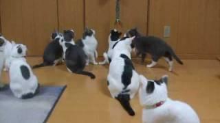 【cat】暇を持てあました猫達の遊び