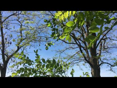 Black Locust - Leaves With Trees In Background - May 2019