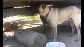 Kangal köpeği havlamasi kopek urmesi kopek sesi haw haw haw diye bağırması