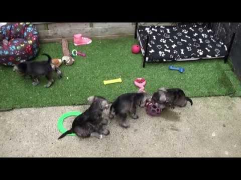 Little Rascals Uk breeders New litter of miniature Schnauzer puppies - Puppies for Sale 2015