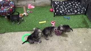 Little Rascals Uk Breeders New Litter Of Miniature Schnauzer Puppies - Puppies For Sale 2015