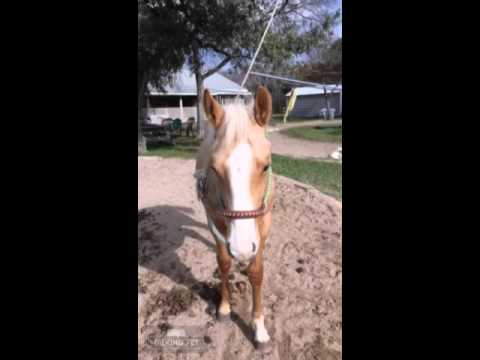 Gentle horses for sale at the Flying M Ranch Texas