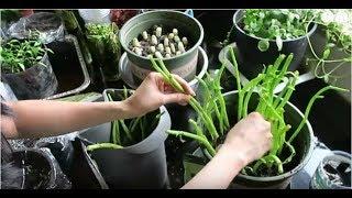 Cách trồng rau muống,rau mồng tơi,rau thơm,và cây sả,Cuộc sống ở Mỹ.