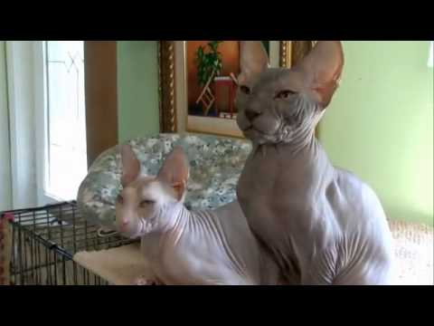 Cats 101 Animal Planet - Donskoy ** High Quality **