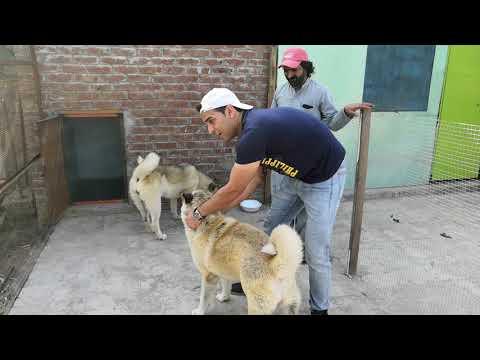 Akita Dogs in Pakistan (Part 2)