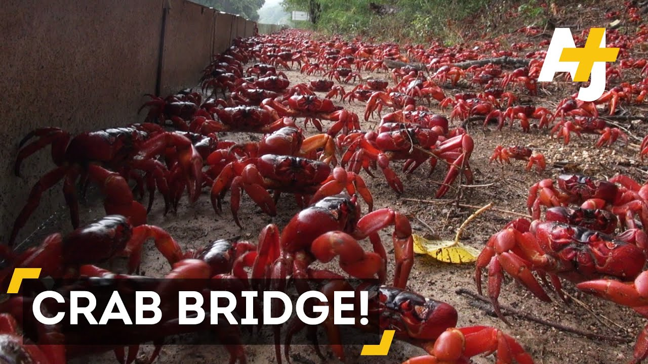 Christmas Island Red Crab.Millions Of Red Crabs Cover Christmas Island During Migration