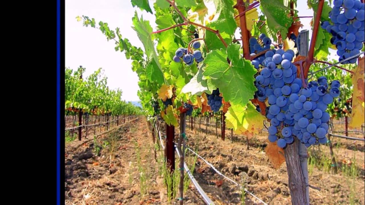 grapes pergola review - Grapes Pergola Review - YouTube