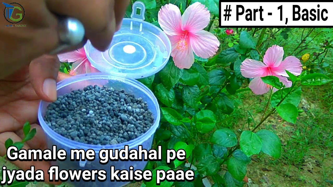 How To Get More Flowers In Hibiscus In Pot Basic Tips Care In