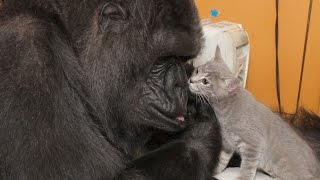 Famed Gorilla Koko Befriends Crate of Kittens