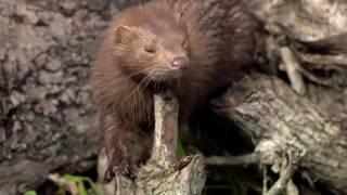 видео Горностай – шустрый хищный зверек. Описание и фото горностая