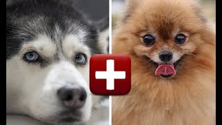 Top 10 Amazing Pomeranian Mix Breed Dogs