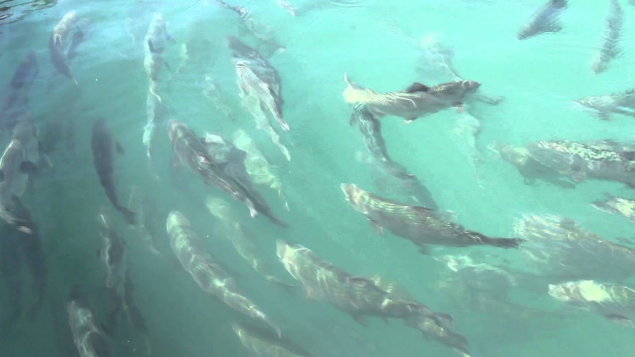 School of fish swimming in water youtube for Fish swimming video