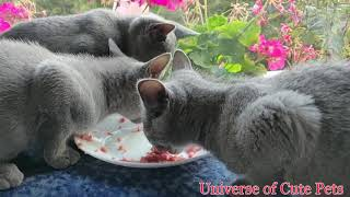 Russian Blue Cat  Cute And Funny Russian Blue Kittens  Cute Cats