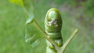 Tomato Hornworm - Large Green Tomato Plant Eating Caterpillar