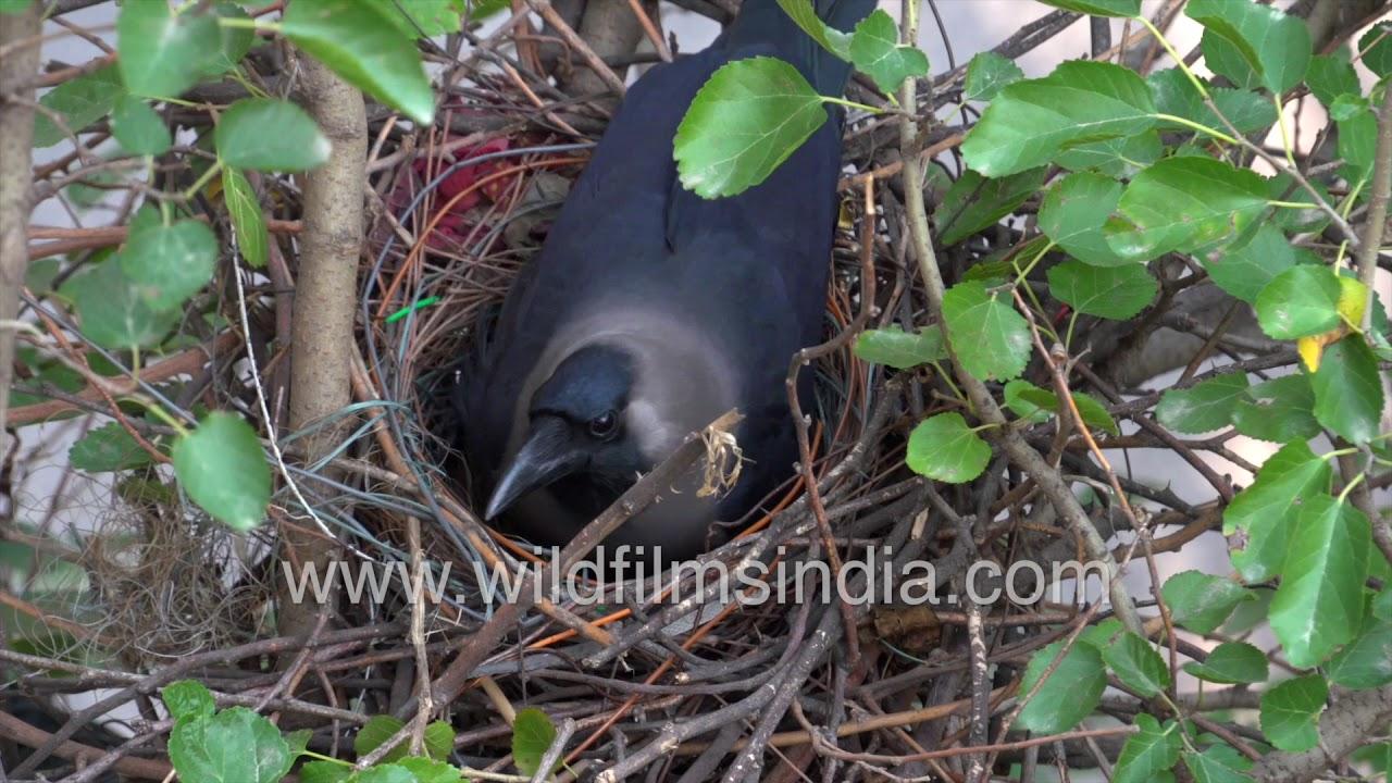 Download Kauwa ka ghonsla: House Crow couple nests along a road in New Delhi