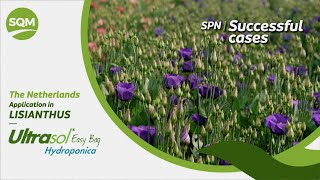 SPN Successful cases, Lisianthus, Ultrasol Easy Bag Hydroponica – The Netherlands