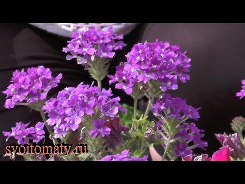 Вербена: выращивание и уход