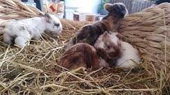 Meine Kaninchen und ihre Haltung #35 [Babys und Informationen] 🐇