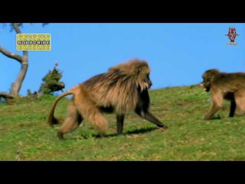 وثائقي نادي قتال الحيوانات الحلقة الاولى HD