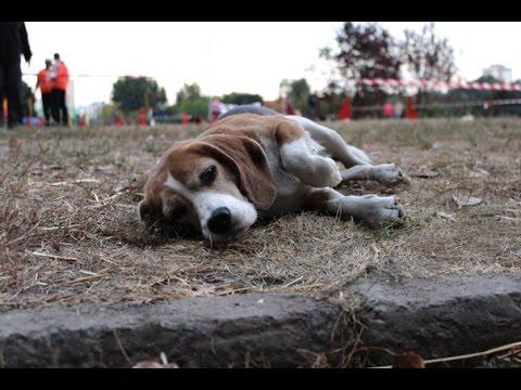 «Cherkasy Open Agility» Beagle Xena