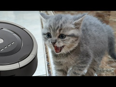 First reaction of kitten Street to a robot vacuum cleaner / 5 weeks after rescue